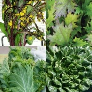 'Asian Cool' Greens Mix - Brassica spp.