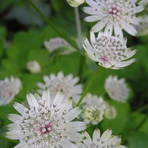 Masterwort - Astrantia major
