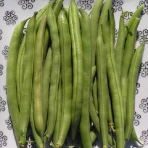 BEANS FRENCH 'Provider' - Phaseolus vulgaris