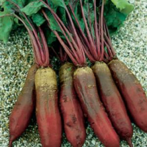 Beetroot 'Cylindrica'  - Beta vulgaris