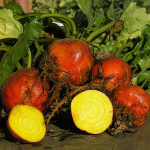 BEETROOT - 'Golden' - Beta vulgaris