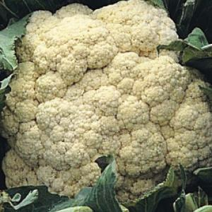 CAULIFLOWER 'All Year Round' - Brassica oleracea var. botrytis