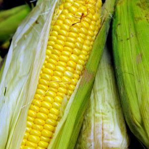Sweet Corn 'True Gold' - Zea mays