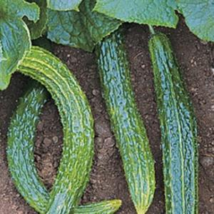 Cucumber 'Suyo Long' - Cucumis sativas