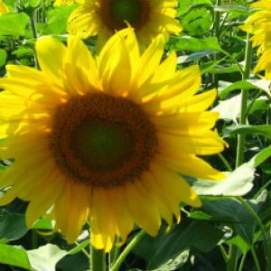 Sunflower 'Oil Drop' - Helianthus annuus Oil Drop