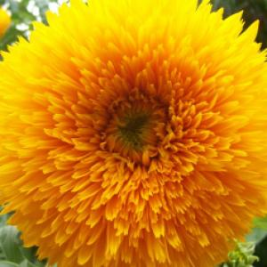 Sunflower 'Double Dazzler'  - Helianthus annuus Dazzler