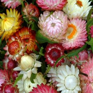 STRAW FLOWER 'Colourful Mix'  - Helichrysum monstrosum mix