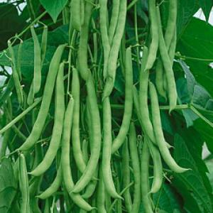 BEAN - CLIMBING 'Kentucky Wonder'  - Phaseolus vulgaris