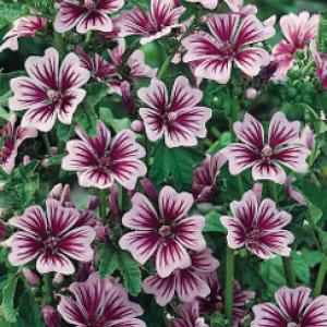 Zebra Mallow / French Hollyhock - Malva sylvestris 'Zebrina'