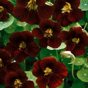 NASTURTIUM 'Tom Thumb Black Velvet'  - Tropaeolum minus 'Tom Thumb Black Velvet'