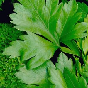 PARSLEY, Flat & Curly Mix  - Petroselinum crispum
