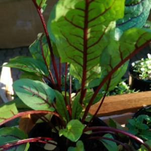Sorrel, Red Veined  - Rumex acetosa