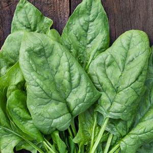 SPINACH 'Winter Giant' - Spinacea oleracea