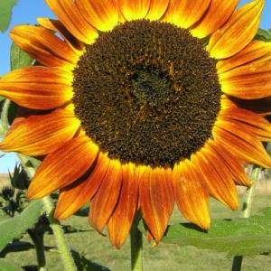Sunflower 'Bronze Dawn' - Helianthus annus 'Bronze Dawn'