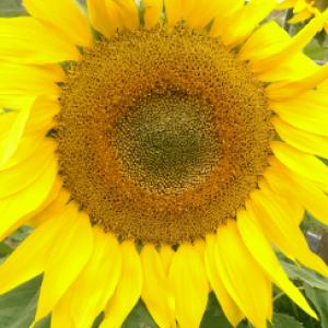 SUNFLOWER 'Happy Hobbit' - Helianthus annuus