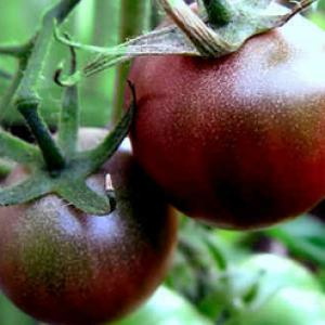 Tomato 'Black Cherry'' - Lycopersicon esculentum