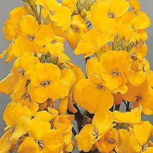 WALLFLOWER 'Cloth of Gold' - Cheiranthus cheirii