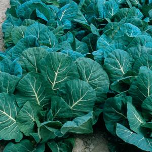 COLLARDS 'Champion'  - Brassica oleracea