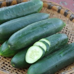 Cucumber 'Poinsett 76' - Cucumis sativas