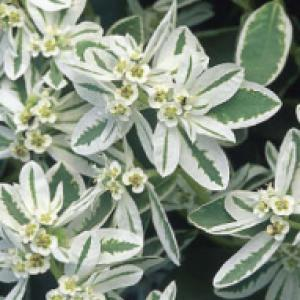 SNOW-ON-THE-MOUNTAIN - Euphorbia marginata