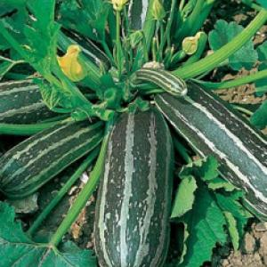 MARROW 'Long Green' - Cucurbita pepo