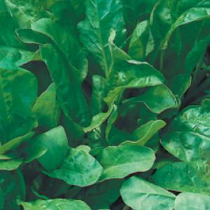 Spinach 'Perpetual' - Beta vulgaris