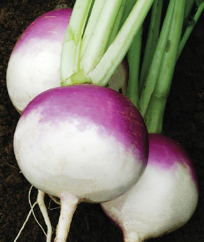 Turnip 'Purple Top White Globe' - Brassica rapa