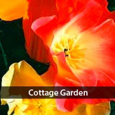 See all our cottage garden seeds